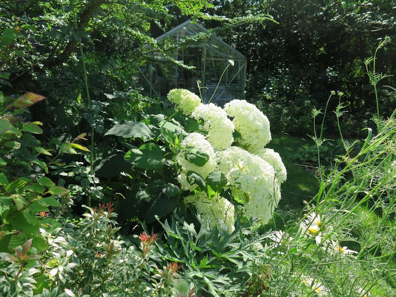 Hydrangea arborescens 15-2