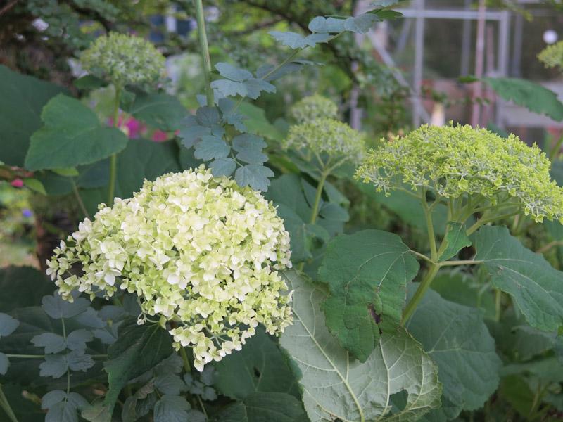 Hydrangea arborescens-15