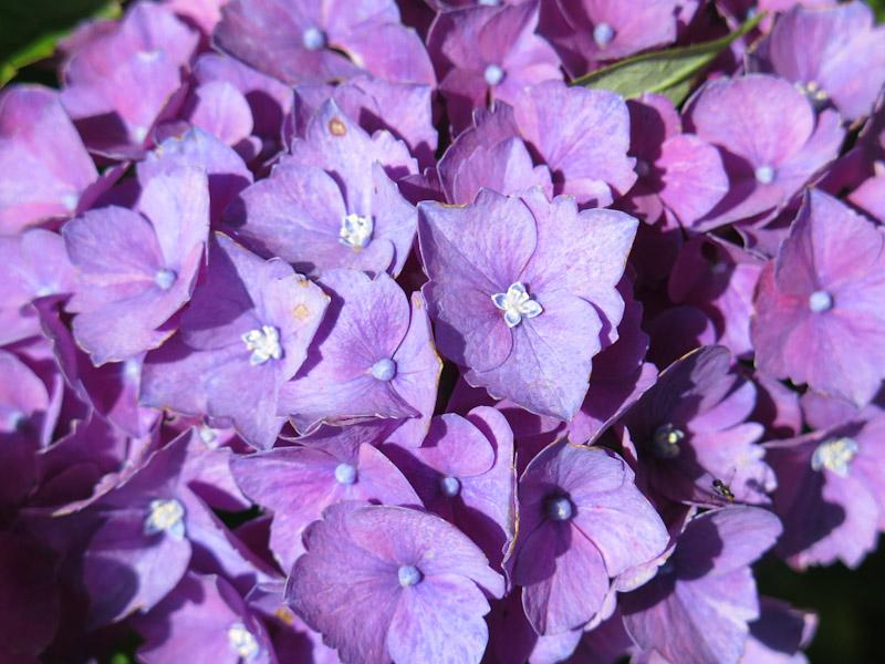 Hydrangea macrophylla-30