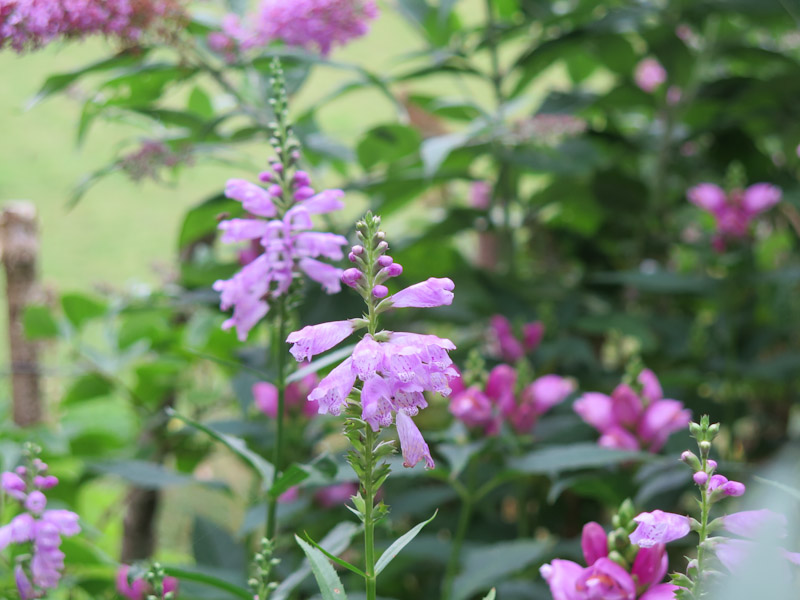 Physostegia virginiana-10