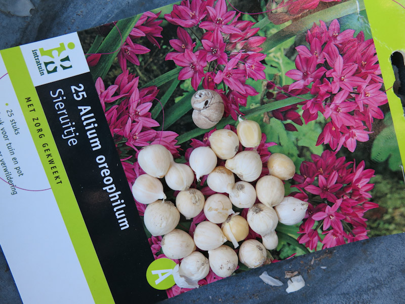 Allium oreophilum-1