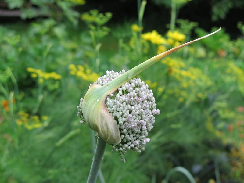 Allium porrum-28