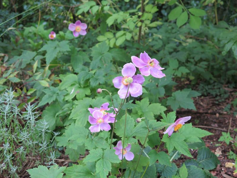 Anemone japonica Königin Charlotte-1
