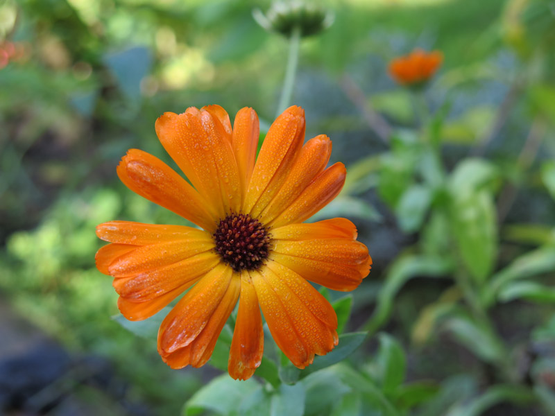 Calendula officinalis-28