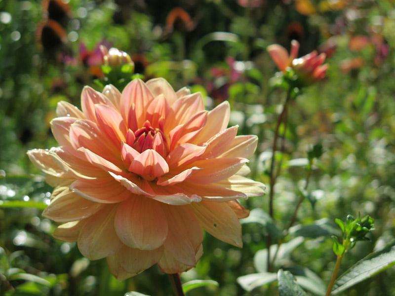 Dahlia 'Apricot Desire'-1