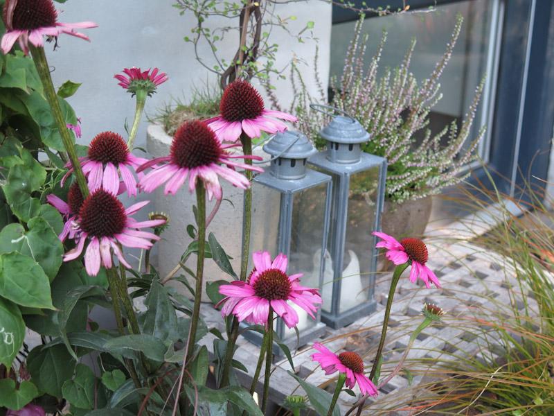 Echinacea purpurea-56