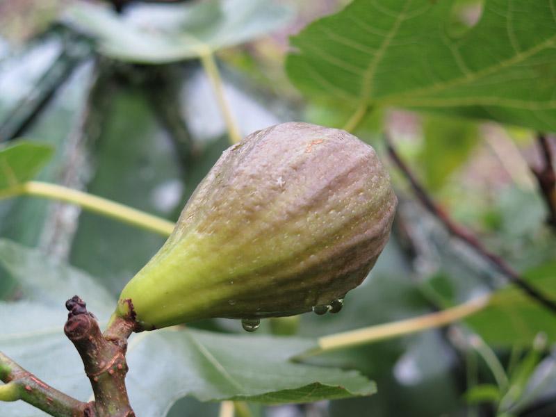 Ficus carica-14