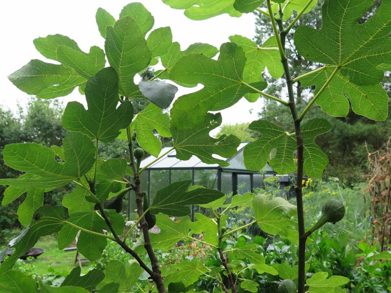Ficus carica-15