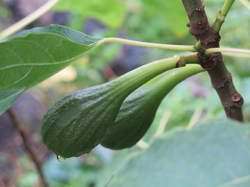 Ficus carica-16