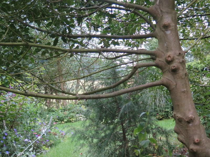 Ilex aquifolium-38