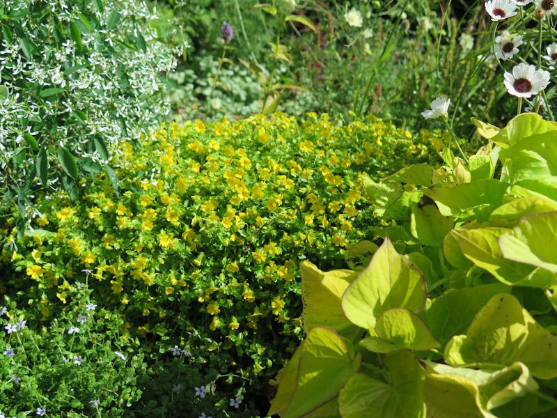 Mecardonia Early Yellow Sundona-7