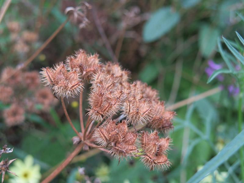 Orlaya grandiflora-34