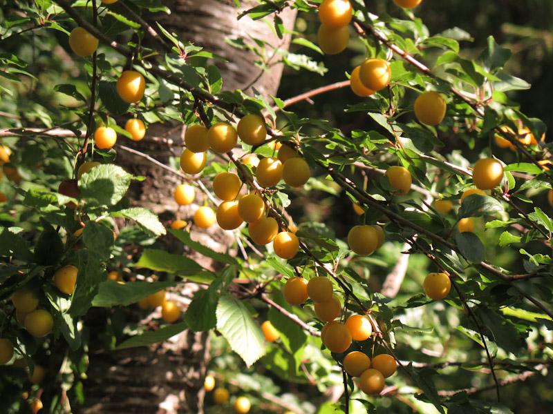 Prunus cerasifera-2