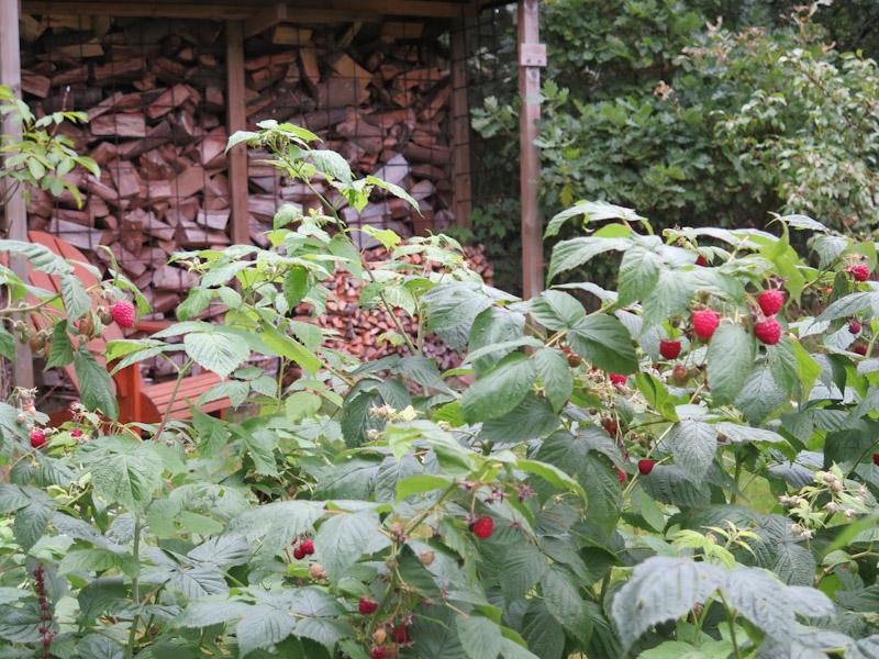 Rubus idaeus-310