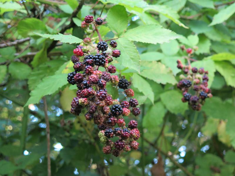 Rubus plicatus-28