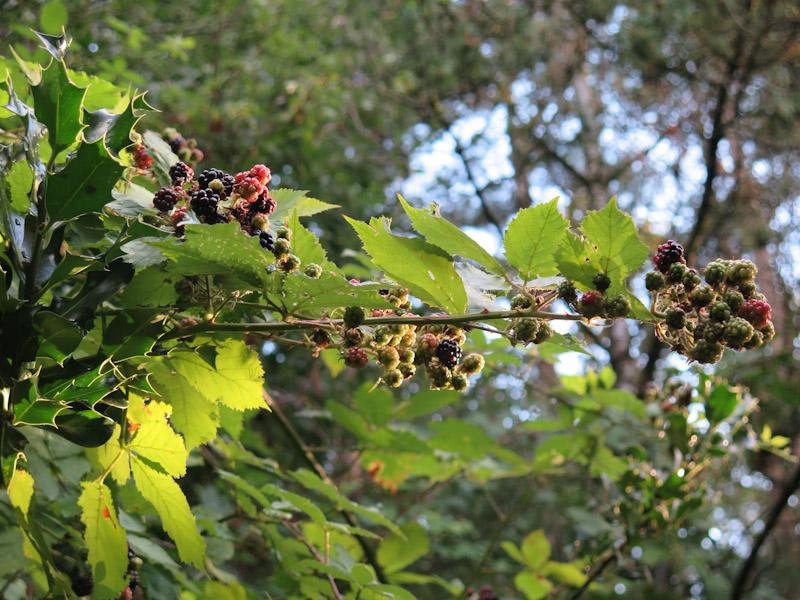 Rubus plicatus-31