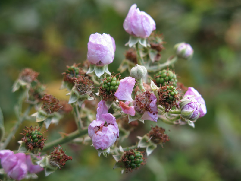 Rubus plicatus-33