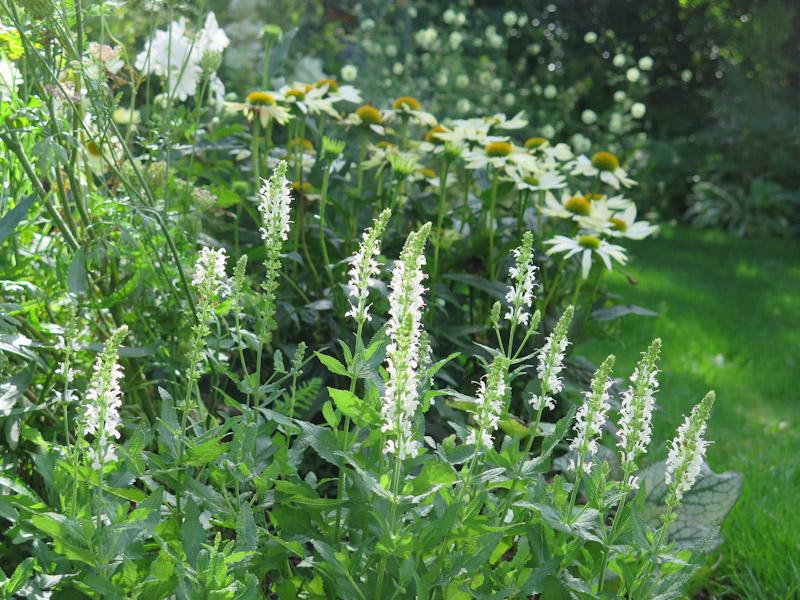 Salvia nemorosa-12
