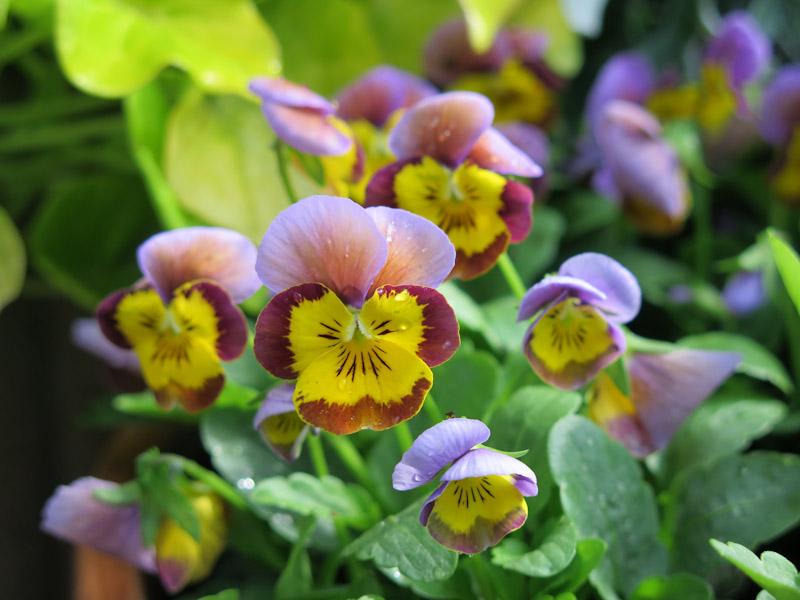 Viola cornuta-28