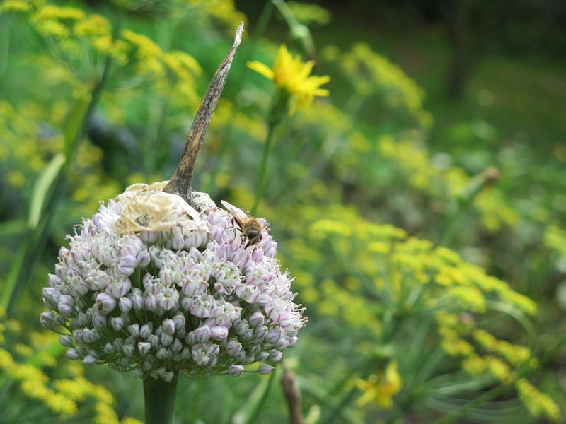 Allium porrum-37