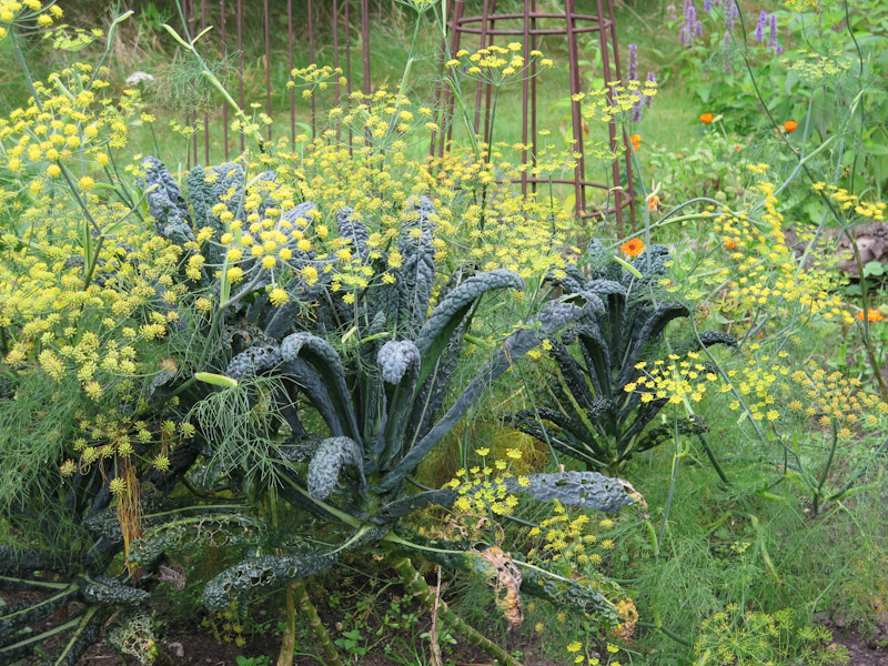 Brassica Nero di Toscana-20