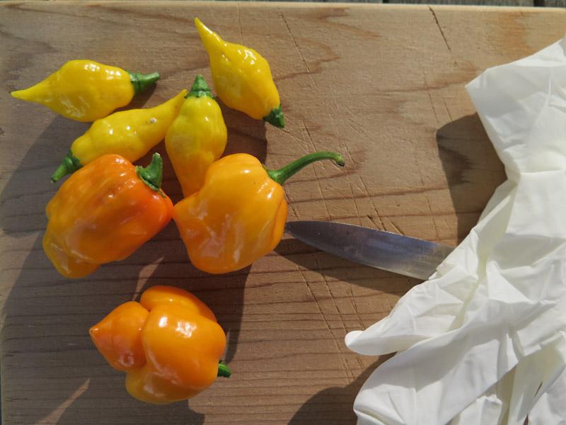 Chili frø-1