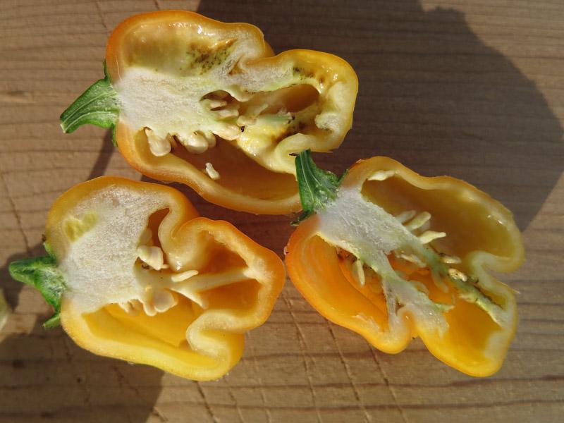 Chili frø-2