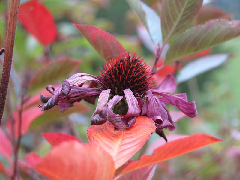 Echinacea purpurea-70