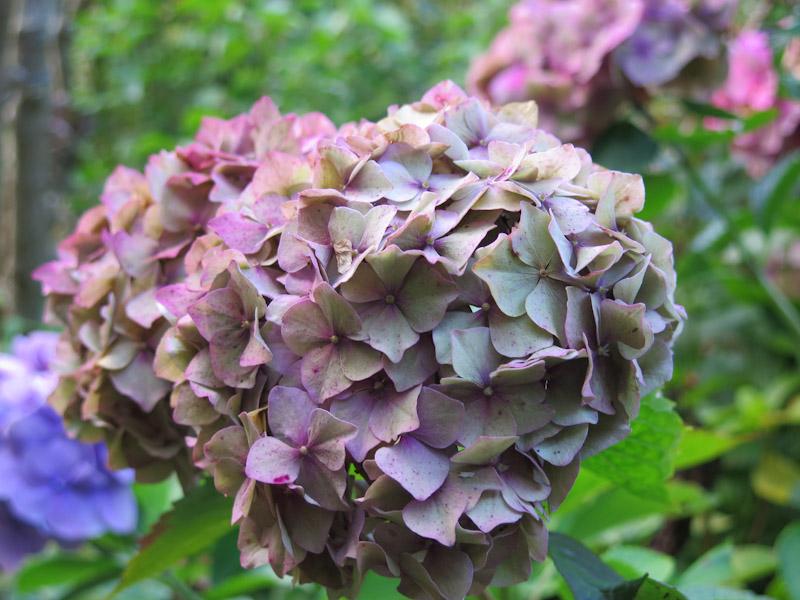 Hydrangea macrophylla-51