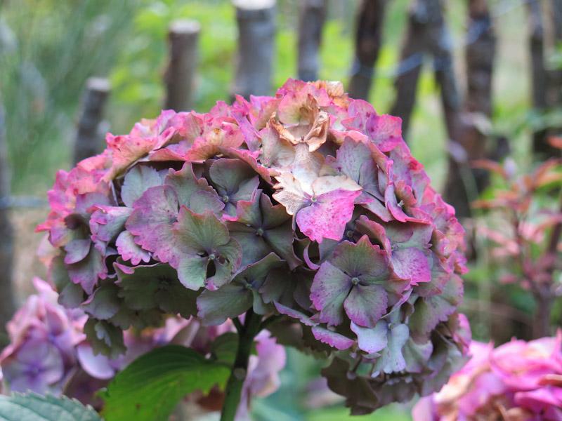 Hydrangea macrophylla-52