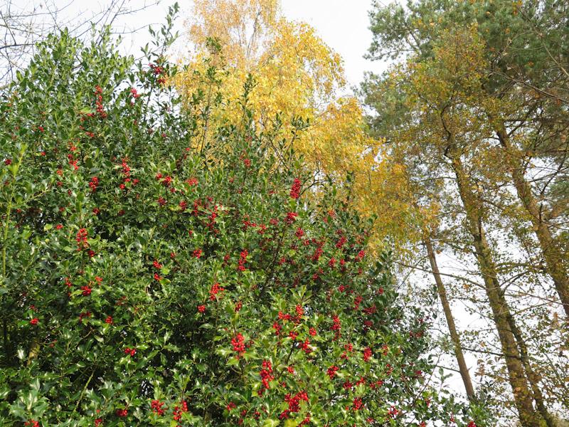 Ilex aquifolium-63