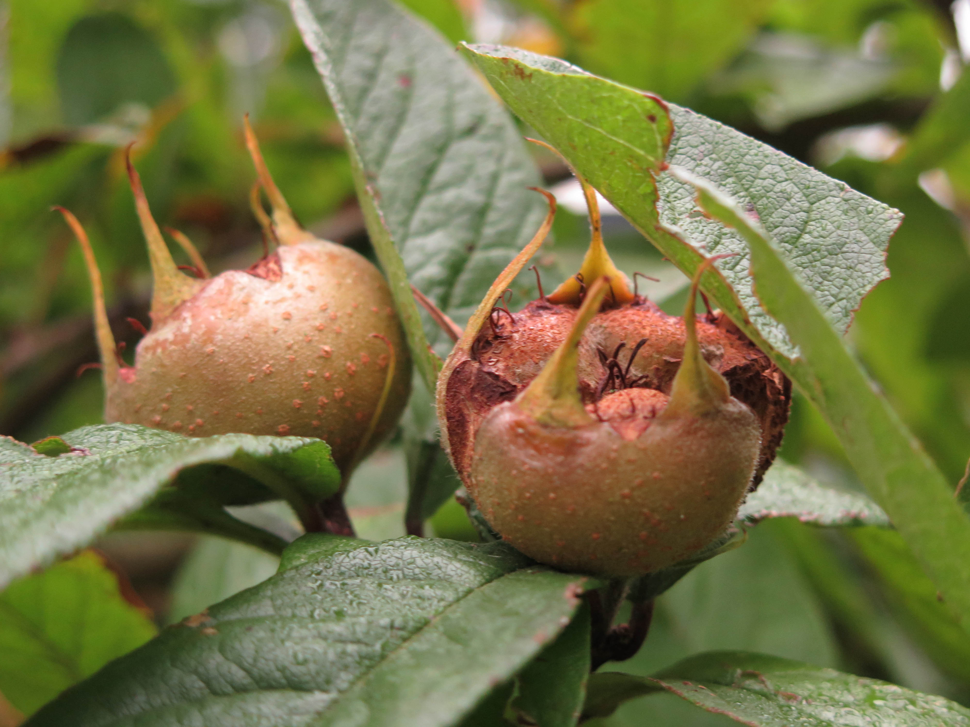 Mespilus germanica 15-15