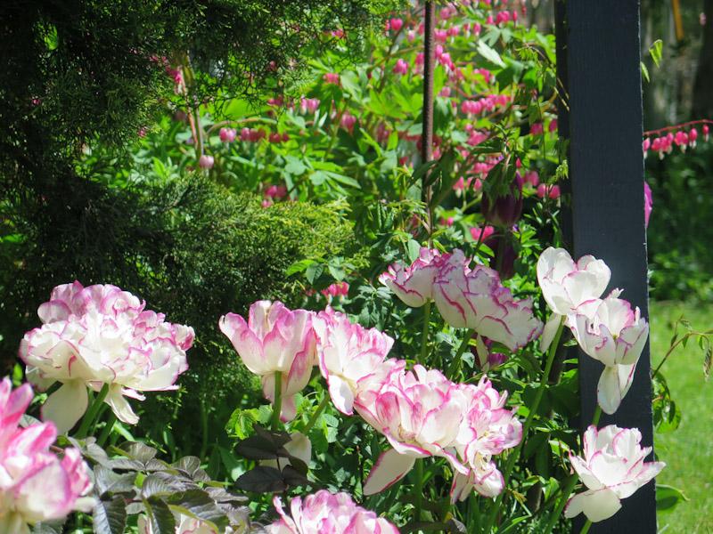 Tulipa Belica-46-1