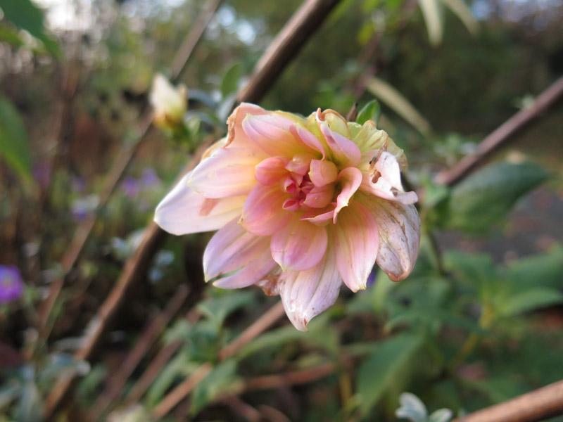 Dahlia Apricot Desire-6