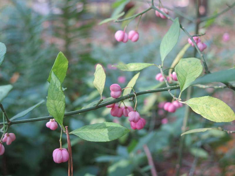 Euonymus europaeus-23