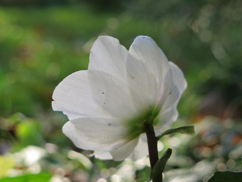 Helleborus niger-19