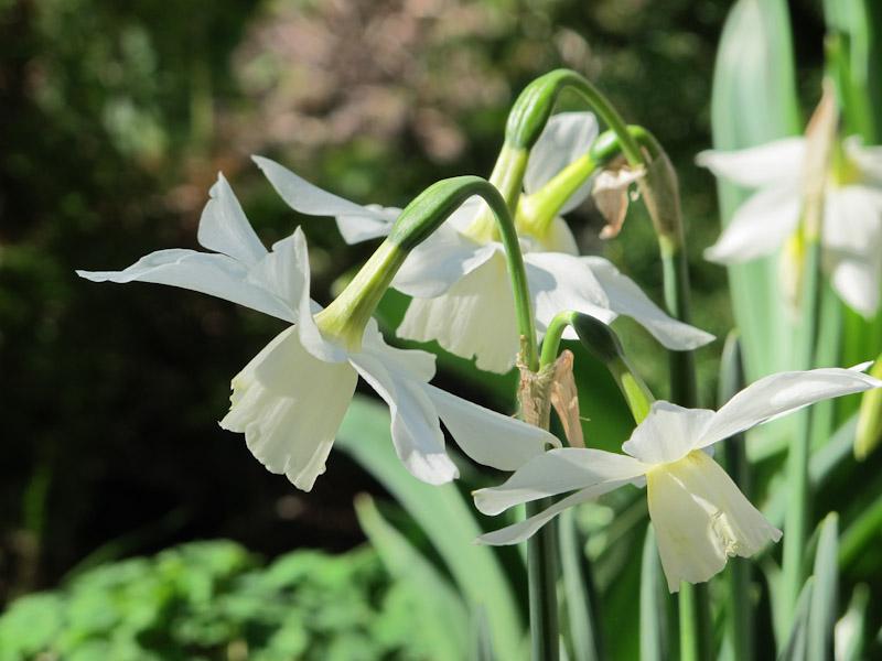 Narcissus Thalia-34