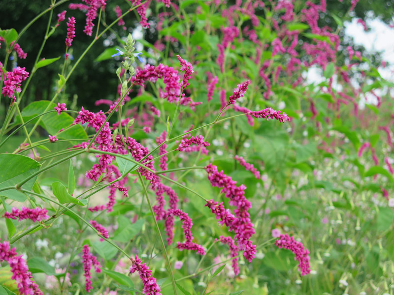 Polygonum orientalis Princess Feather-4