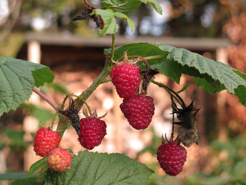 Rubus idaeus-28