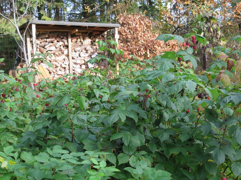Rubus idaeus-30