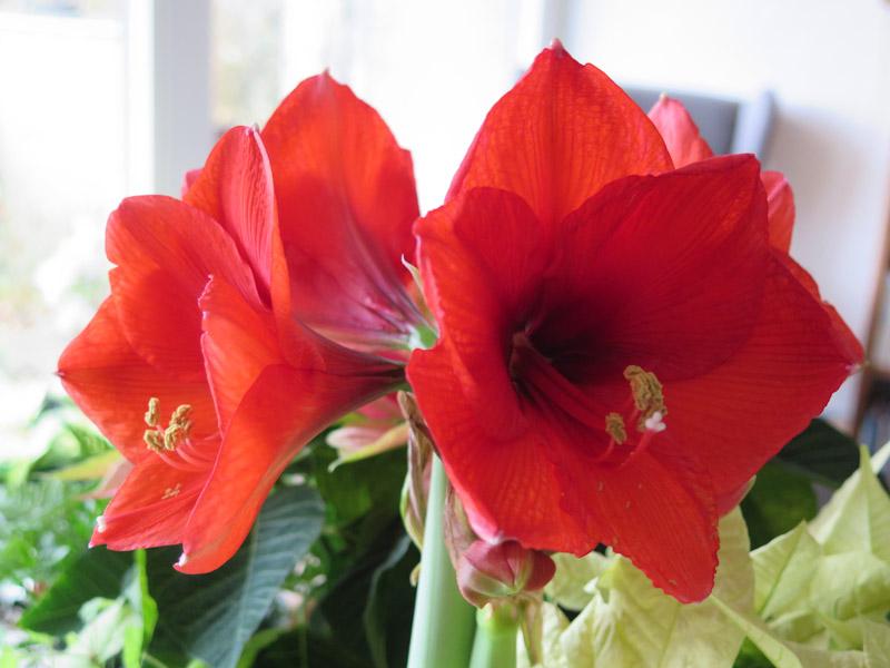 Hippeastrum No Water Flower-8