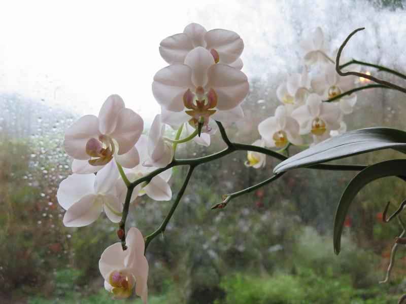 Phalaenopsis-10