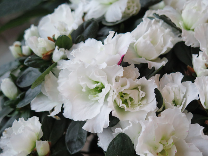 Rhododendron simsii-10