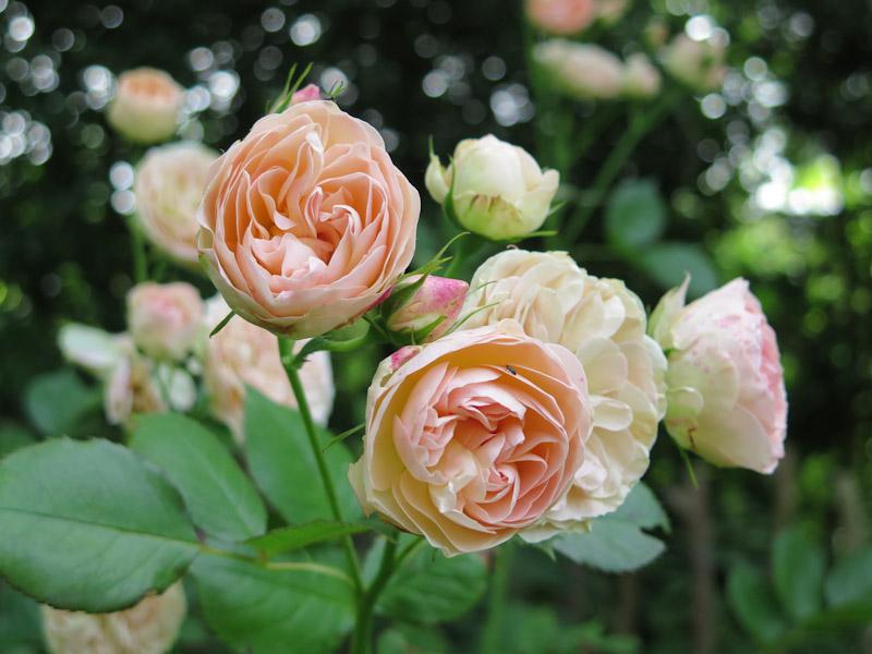 Rosa Pastella-25
