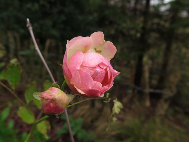 Rosa Pastella-29