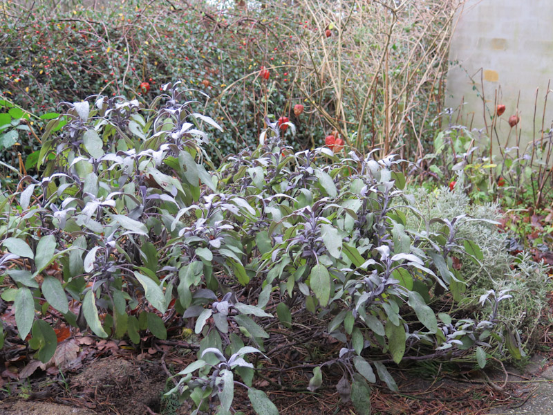 Salvia officinalis Purpurascens-10