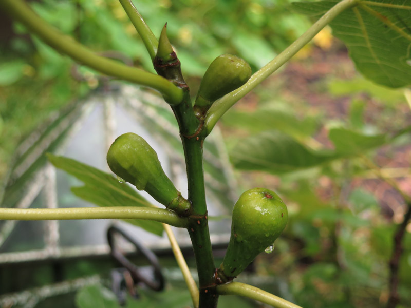 Ficus carica 15-14
