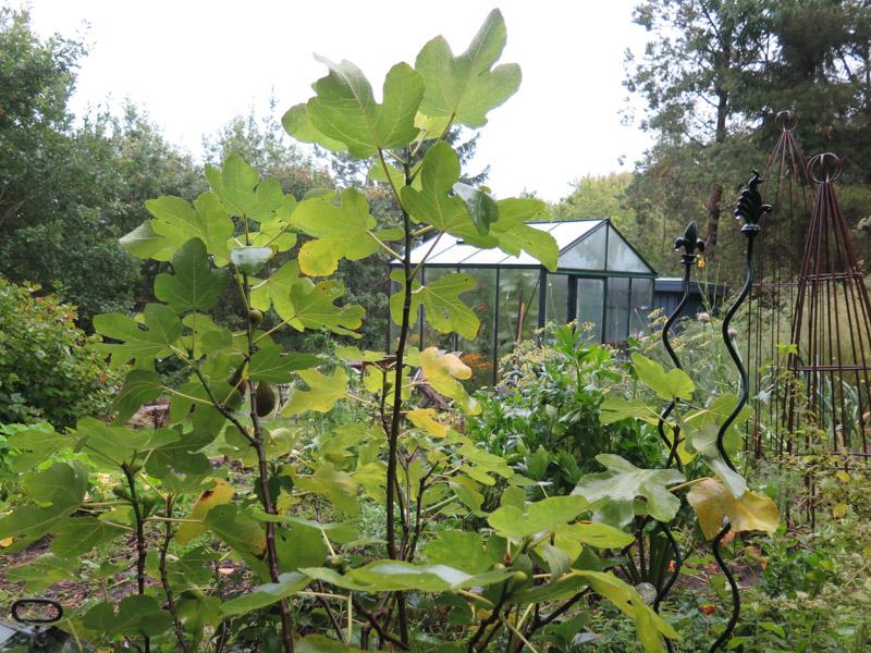 Ficus carica 15-7