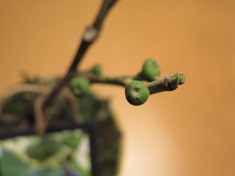 Ficus carica Røsnæs-79