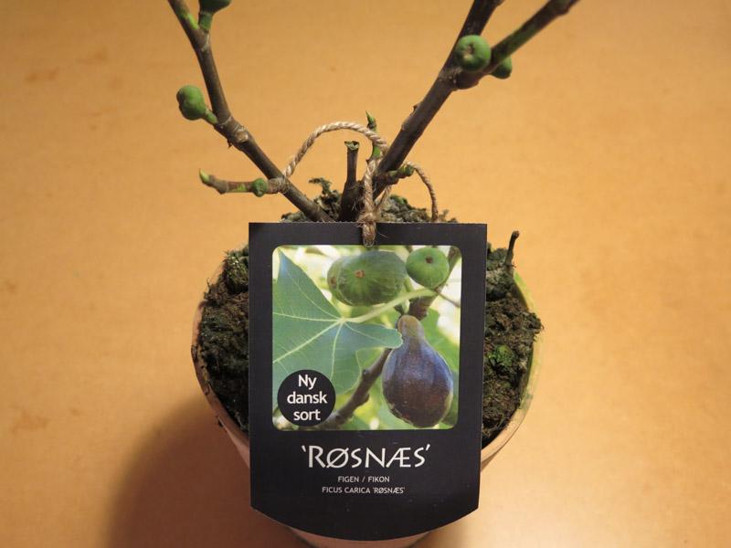 Ficus carica Røsnæs-78